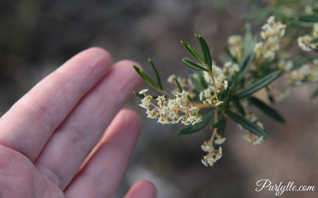 tiny cream flower bush with spiky leaves and my hand for size reference