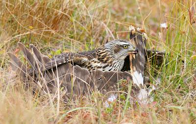 Northern Goshawk Kills Harrier