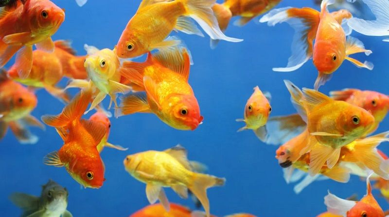 Image and photo Can Goldfish Eat Betta Fish Food