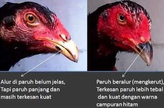 paruh ayam aduan