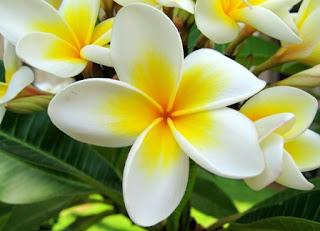 17 Khasiat Bunga Kamboja Untuk Kesehatan Dan Kecantikan