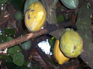 Pemetikan buah kakao