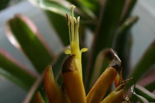 guzmania flor