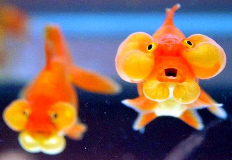 Funny goldfish bubble eye fun animals wiki videos for Fish eye fun