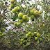Objek Wisata Petik Apel di Batu Jawa Timur