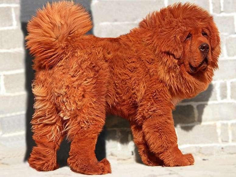 El perro mas caro del mundo, Mastín tibetano. Las mascotas mas caras del mundo. Los animales más  caros del mundo. La raza de perro mas cara del mundo.