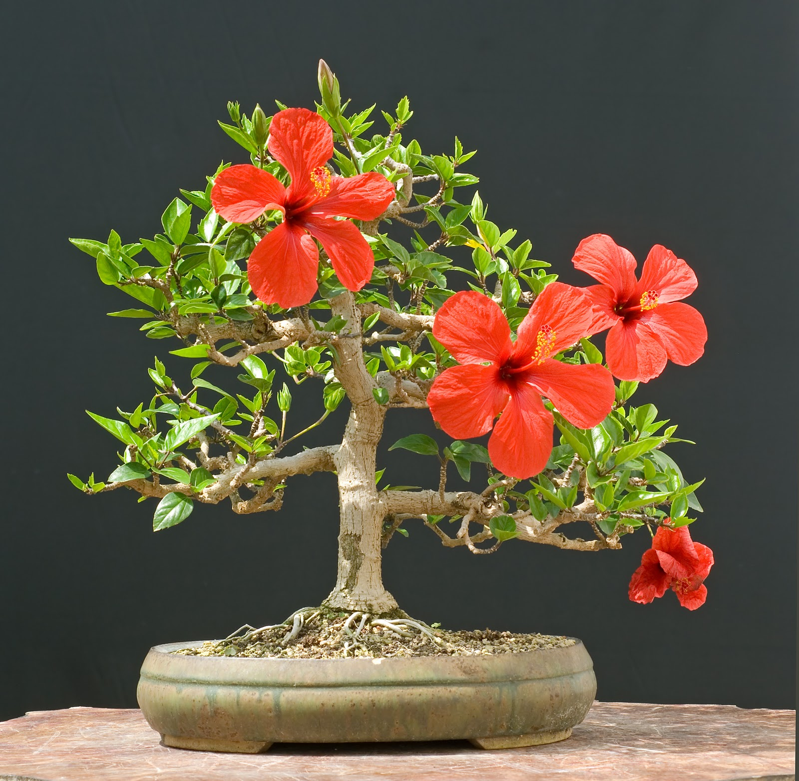 Hibiscus Care: How To Care Indoor And Tropical Plants