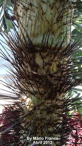 cariota-espinhenta, Ruffle Palm