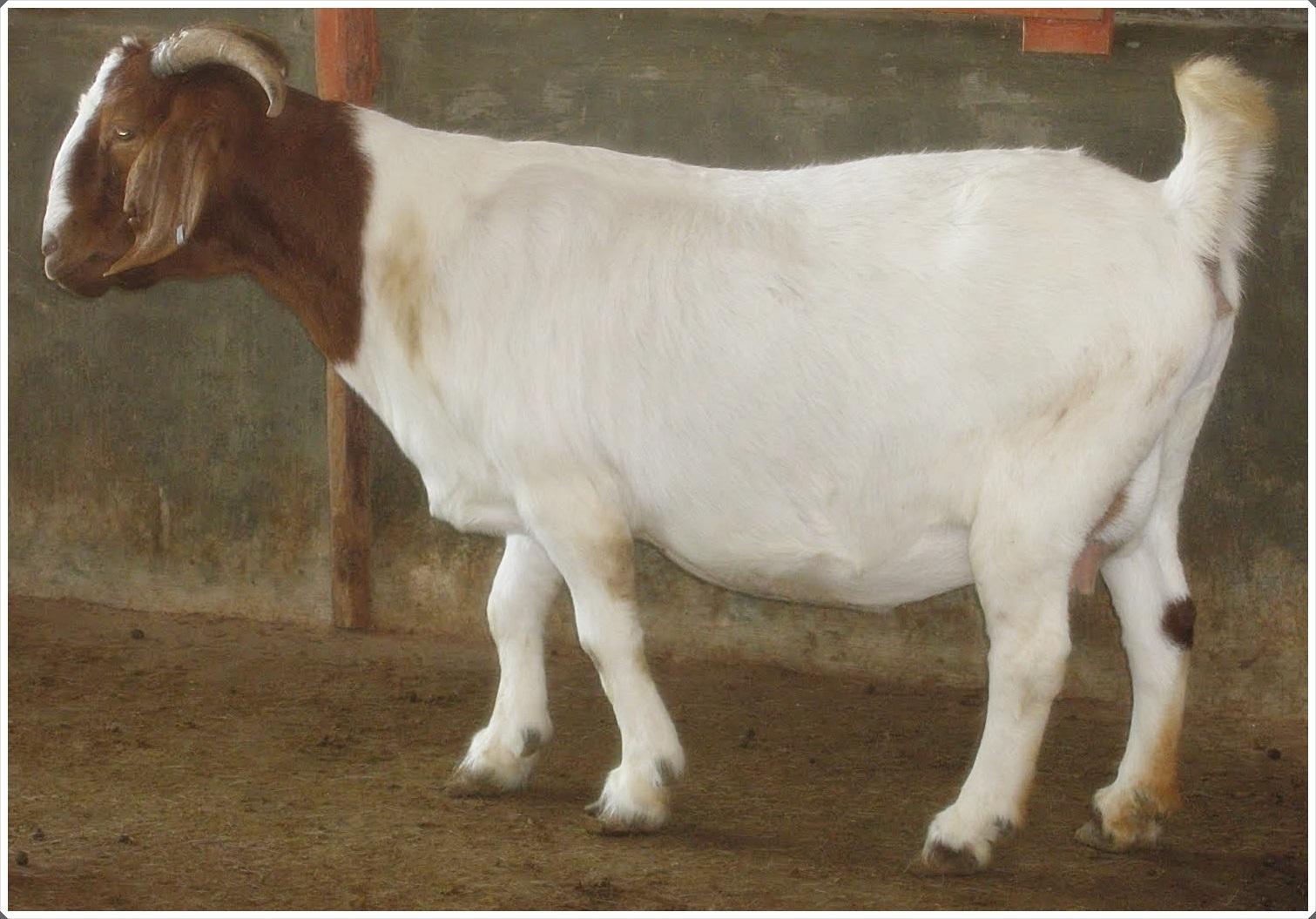 gambar 5 kambing boer betina