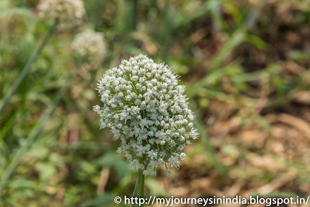 Onion Flower and a Honey Bee in North Karnataka