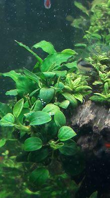 Ốc Nerita đẻ trứng trong hồ thủy sinh