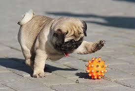Un pequeño pug jugando con una pelota.