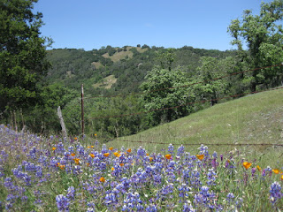 View of tree-covered hills with lupines and poppies in the foreground, Santa Rosa Creek Road, San Luis Obispo County, California