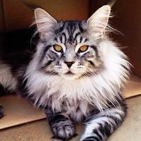 cara mengetahui kucing ras maine coon
