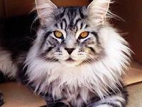 Kucing Maine Coon Suka Main Air ? Inilah Sifat dan Ciri Kucing Maine Coon