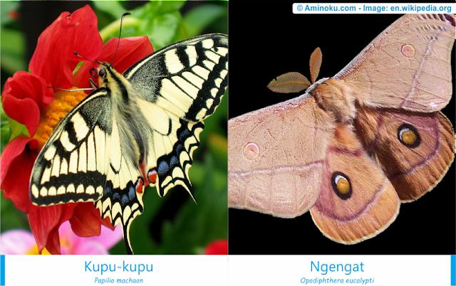 Perbedaan kupu-kupu dan ngengat