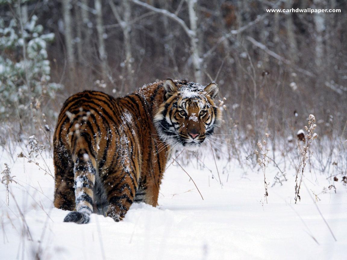 black tiger animal - photo #8