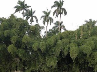 Kuba, Matanzas, Yumurital, grüne Wand aus dichten Büschen, dahinter ragen Köngspalmen auf