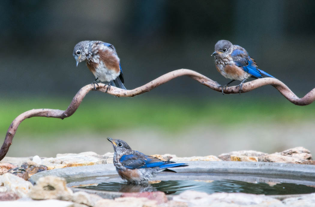 Fledgling bluebirds