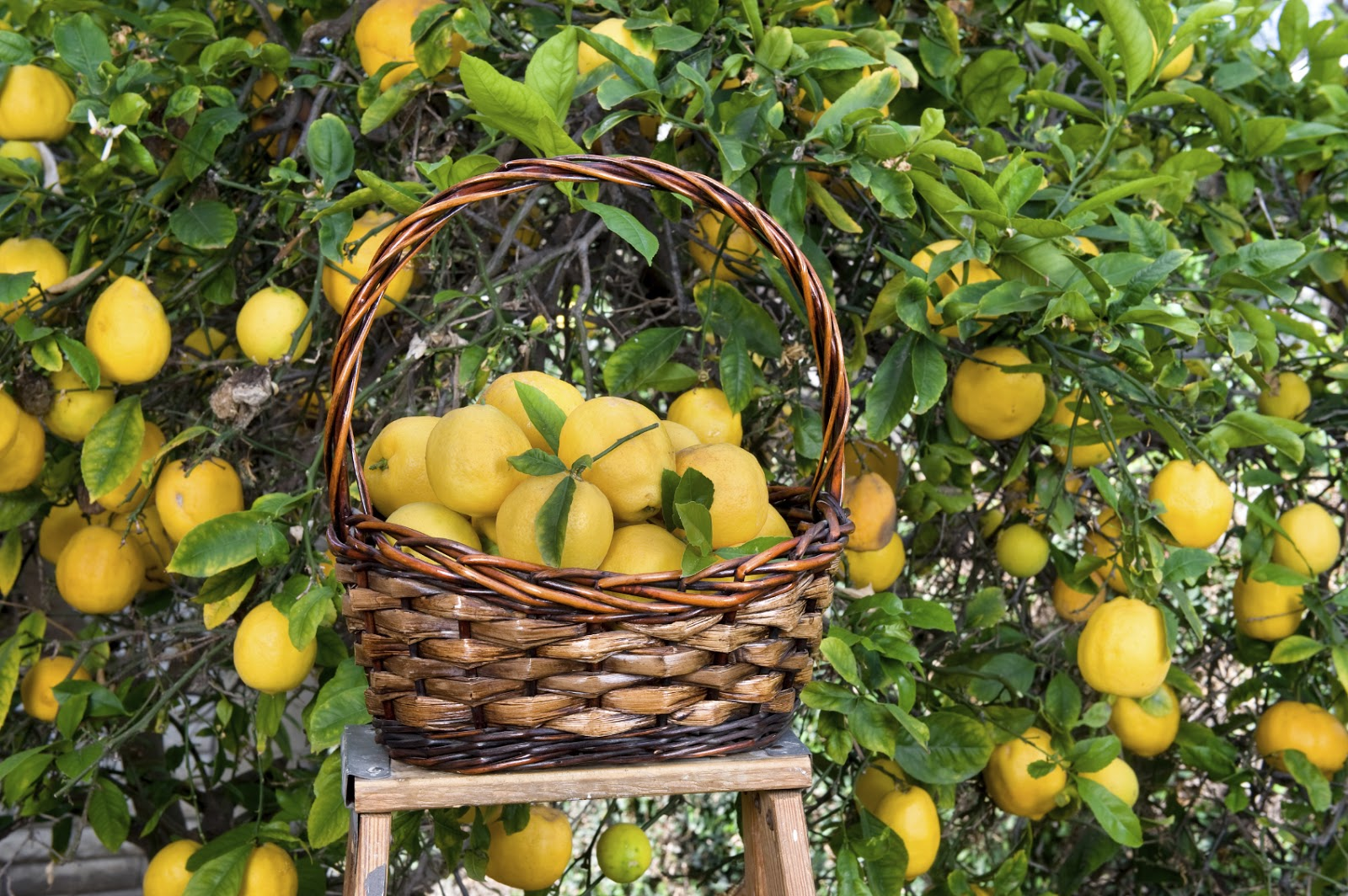 A Complete Guide! How To Grow Lemon Tree! Garden Bible