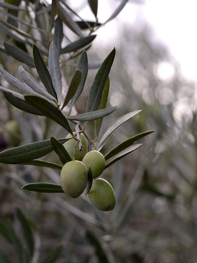 Como preparar olivas verdes en conserva