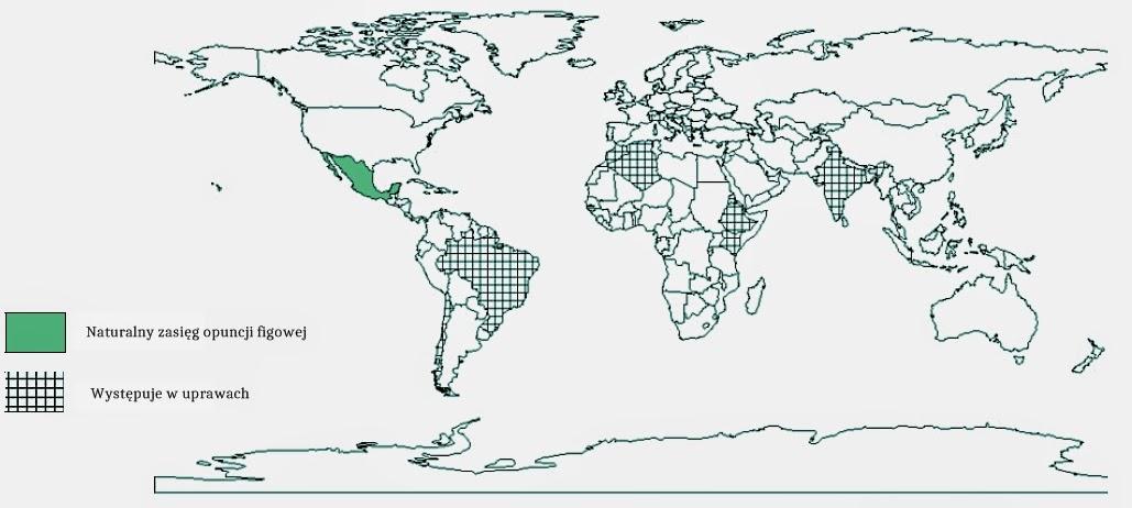 Opuncja figowa (Opuntia ficus-indica) historia pochodzenie, skąd pochodzi, użytkowanie w dawnych czasasch, etnobotanika, ciekawostki o kaktusach użytkowych, kaktusy i sukulenty o jadalnych owocach, rośliny z Nowego Świata, meksykańskie owoce.
