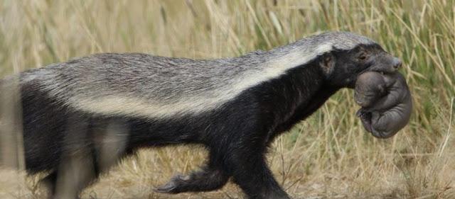 Το πιο επικίνδυνο ζώο στον κόσμο: Σκοτώνει τίγρεις, λιοντάρια, αρκούδες & τρέφεται με δηλητηριώδη φίδια!