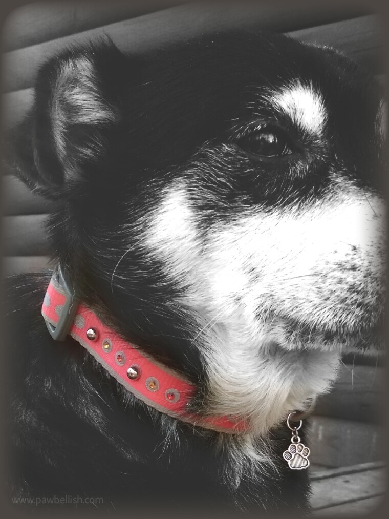 Cute dog modeling an orange collar adorned with crystal beads