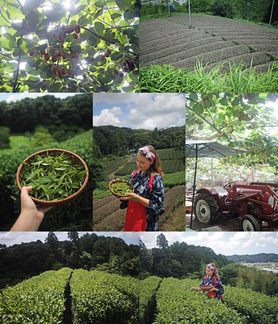 kiwi fruit county tea production