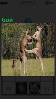 На поляне в вертикальном состоянии ведут бой между собой два кенгуру