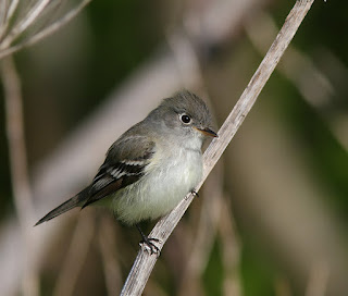 Least Flycatcher, typical individual