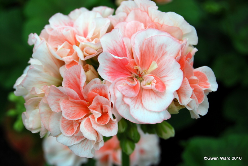 Perfect Pelargoniums Deacon Birthday Dwarf Zonal Pelargonium
