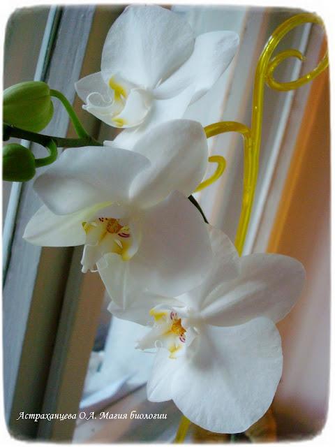 stroenie-okolocvetnika-i-chashechki-cvetka-magija-biologii-orhideja
