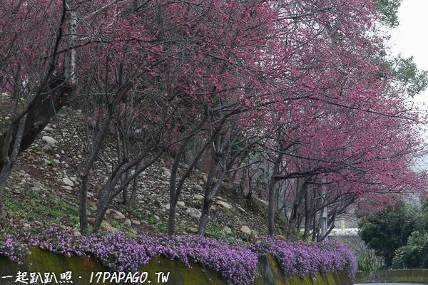 《台中.新社》2018喬木民宿咖啡旁大南櫻花坡櫻花開,還有一整排粉紫色馬纓丹迎賓