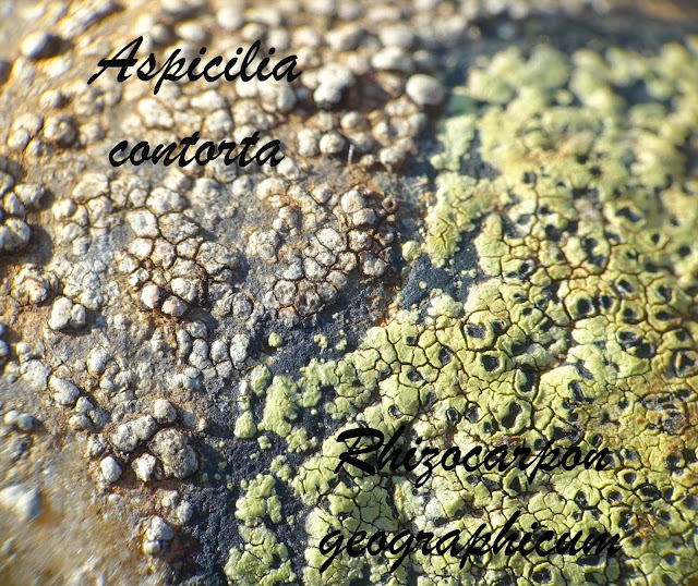 Aspicilia contorta and Rhizocarpon geographicum lichens South of France