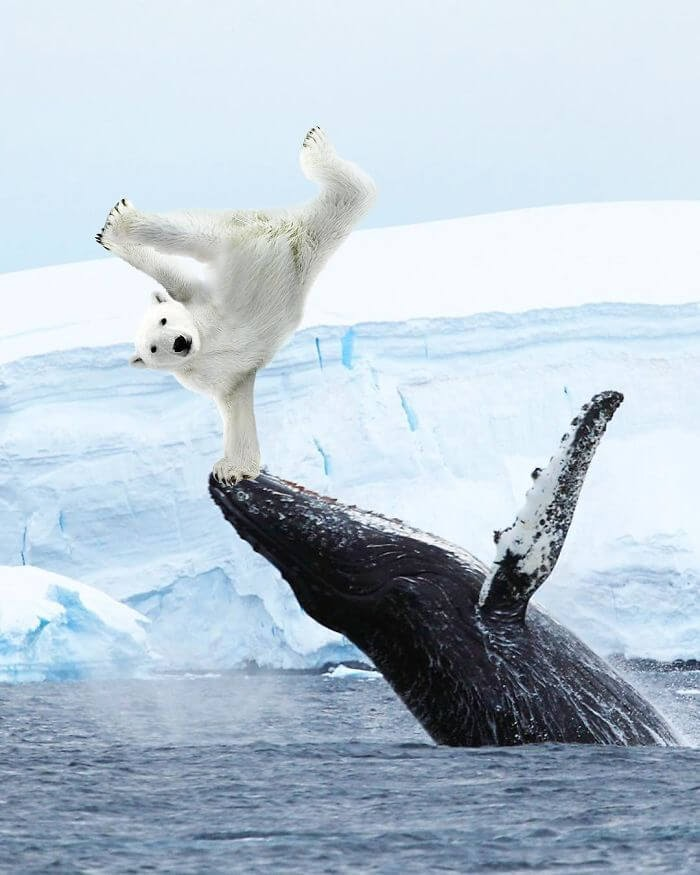 09-Polar-Bear-Handstand-Archipelago-Martijn-Schrijver-www-designstack-co