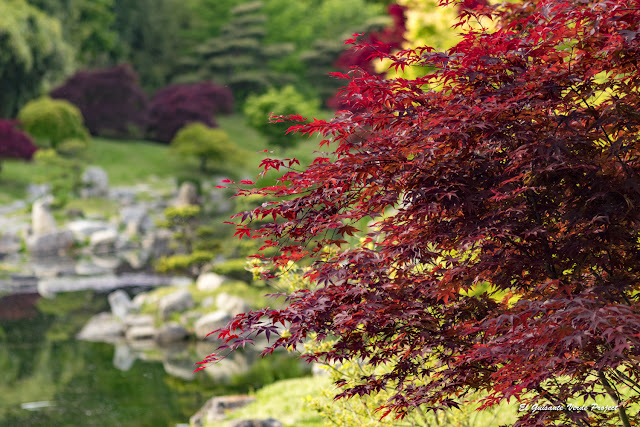 Arce Rojo de la Bambouseraie en Cévennes, Francia por El Guisante Verde Project