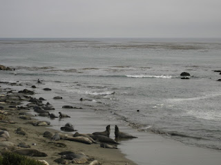 Elephant seals facing off at the Piedras Blancas Rookery near San Simeon, California