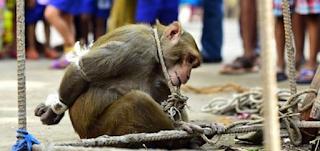 Εκατοντάδες άνθρωποι ζητωκραυγάζουν για τον Βασανισμό αυτής της Μαϊμούς. Ο λόγος που την τιμώρησαν; Θα σας σοκάρει!