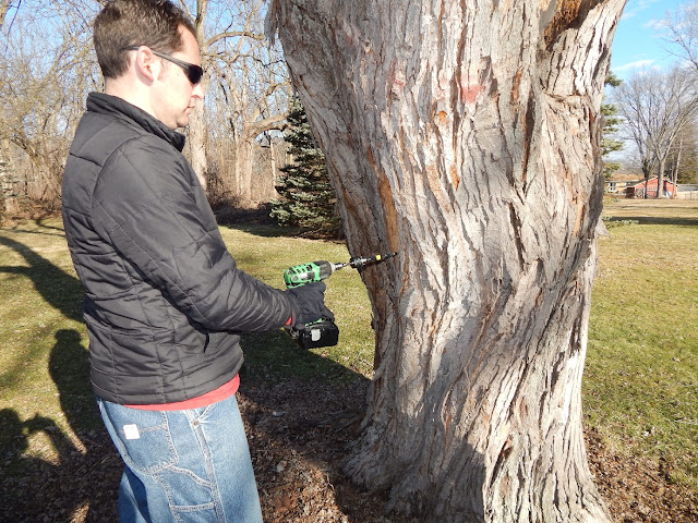drilling hole in maple tree