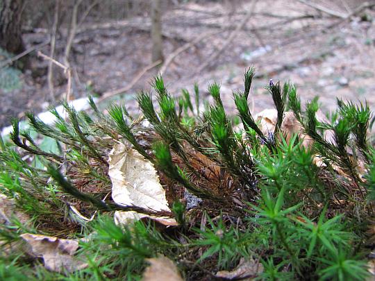 Złotowłos strojny (Polytrichastrum formosum).