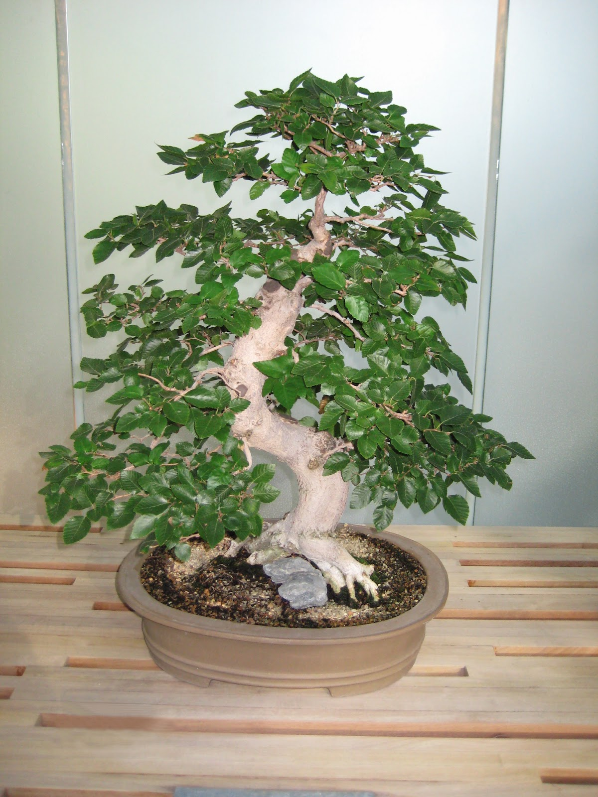 Bonsai Tree 19 Awesome Beech Tree Bonsai Images