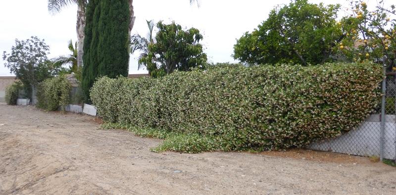 bigger jasmine wall