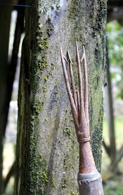 Senjata Tradisional Kalimantan Selatan Sarapang