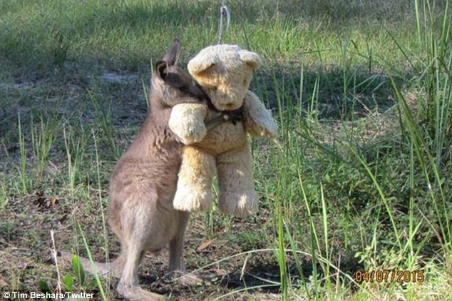 This Kangaroo is falling in love