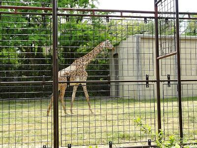 神戸市立王子動物園 キリン
