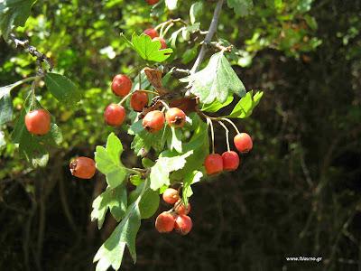 Κράταιγος-Το βότανο της καρδιάς