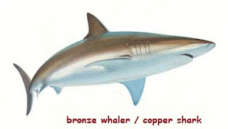 foto ikan hiu bronze whaler