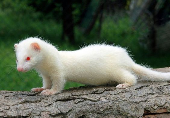 Ferret   A-Z List of 125 Rare Albino Animals [Pics]