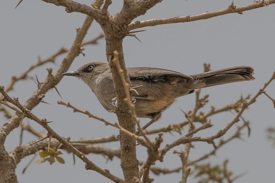 Yemen Warbler – Tanoumah